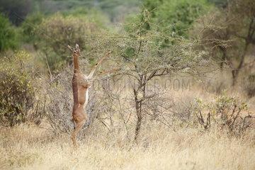 Gerenuk (Litocranius walleri)  Samburu  Kenya