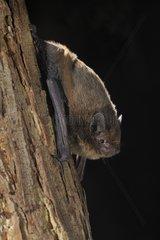 Nathusius' Pipistrelle on a trunk - Belgium