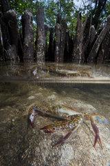 Flower crab  blue crab  blue swimmer crab  blue manna crab or sand crab (Portunus pelagicus)  Bunaken Island  Sulawesi  Indonesia
