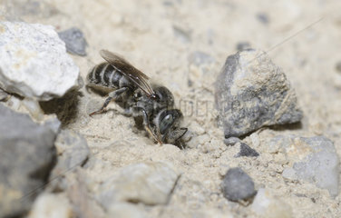 Mason bee (Osmia loti) collecting a mortar for the construction of its breeding cell  Serre-Chevalier  Alpes  France