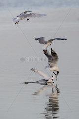 Mediterranean Gull (Larus melanocephalus)  Black-headed gulls (Larus ridibundus) and Sandwich tern (Sterna sandvicensis)  Quarrel in flight for a fish in spring  Polder of Sebastopol  Ile de Noirmoutier  Atlantic coast  France