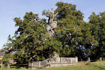 Classified as remarkable trees of Brittany  the hollow oak trees of the chapel of Kerneant sheltered between 1940 and 1944 an escaped prisoner and three refractory to the obligatory work in Germany. Hidden inside the oaks  they were never caught. Neant-Sur-Yvel  Brittany  France