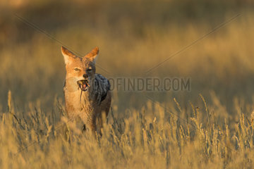 Black-backed Jackal (Canis mesomelas) eating a rodent at sunrise  Kgalagadi  South Africa