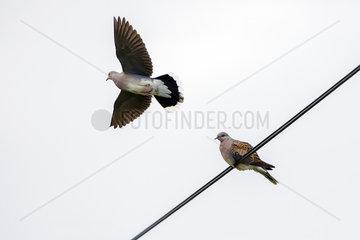 European Turtle Dove (Streptopelia turtur) on a cable and in flight in spring  Ile de Noirmoutier  Atlantic coast  France