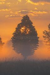 Tree in morning mist at sunrise  Hesse  Germany  Europe