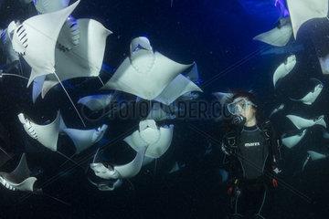 Scuba diver and school of Munk's devil ray  pygmy devil ray  (Mobula munkiana)  feeding on plankton at night  Espiritu Santo Island  Sea of Cortez  Baja California  Mexico  East Pacific Ocean