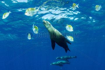California sea lion  (Zalophus californianus)  betwen Panamic sergeant major (Abudefduf troschelii) Los Islotes  Sea of Cortez  Baja California  Mexico  East Pacific Ocean