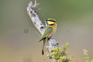 Little Bee-eater on a branch - Khwai Botswana