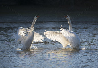 Mute swans (Cygnus olor) flapping their wings on the water  Sauer Delta Nature Reserve  Rhine Border  Munchhausen  Alsace  France