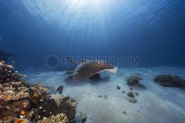 Cowtail stingray (Pastinachus sephen)  Moheli  Comoros