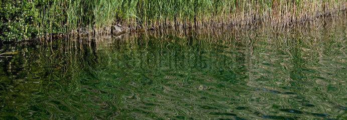 Common reed on a lake bank - Aragon - Spain