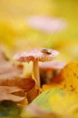 Hairy snail (Trochulus hispidus) - minuscule snail (around 5 mm) in the family of Hygromiidae  its shell has the distinguish feature to be covered with short hard haris - on a pink mycena mushroom (Mycena rosea) on a leaf bed in a leafy forest  in November  Picardy  France. Poisonous no-edible mushroom.