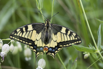 Old World Swallowtail (Papilio machaon)  Italy