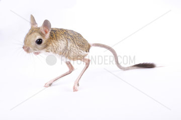 Greater Egyptian jerboa (Jaculus orientalis) on white background