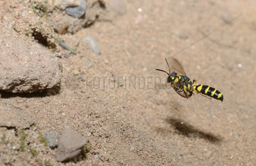 Digger wasp (Cerceris arenaria) female in flight carrying a weevil in her gallery  Regional Natural Park of the Vosges du Nord  France