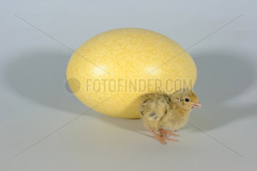 Japanese Quail Chick and Greater Rhea Egg