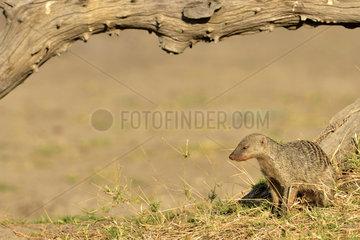 Banded Mongoose in the savannah - Khwai Botswana