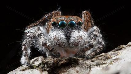 A close up shot of a male Maratus pardus peacock jumping spider .