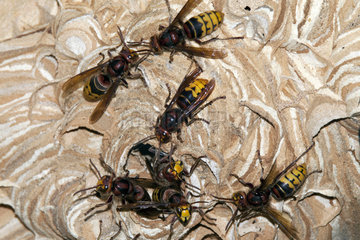 European Hornets (Vespa crabro) on their nest  France