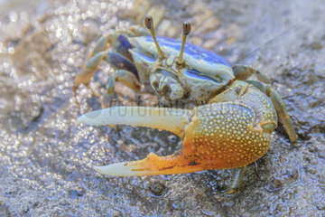Fiddler crab (Uca sp)  Mangrove of Belo sur mer  Southwestern coast of Madagascar  south of Morondava