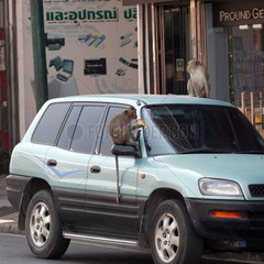 Long-tailed Macaque (Macaca fascicularis) on the roof and rearview mirror of a car  Thailand