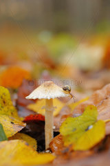 Copse snail (Arianta arbustorum) -immature snail (around 5 mm)- on a Stinking parasol (Lepiota cristata) on a bed of leaves in a leafey wood in autumn  in Novembr  Picardy  France. Poisonous non-edible mushroom.