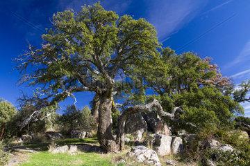 Cork oak - Cuenca Alta del Manzanares Spain