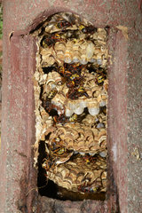 European hornet (Vespa crabro)  nest in a nest box  Regional Nature Park of the Vosges du Nord  France