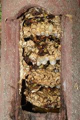 European hornet (Vespa crabro)  nest in a nest box  Regional Nature Park of the Vosges du Nord  France