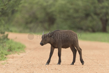 African Buffalo (Syncerus caffer) young crossing a track  Kruger  South Africa