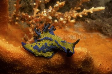 Nudibranche Tambja dans un récif corallien Port Stephens