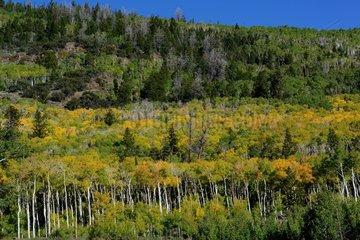 Quaking Aspen Forest - Utah USA