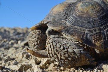 Desert tortoise - Colorado desert South California USA