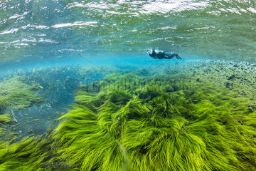 Free diver swimming over a field of green algae moved from the current of the river. Litlaa? ?Little River   northern Iceland