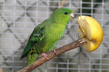 Catherine parakeet (Bolborhynchus lineola)  Male mutation green single dark factor