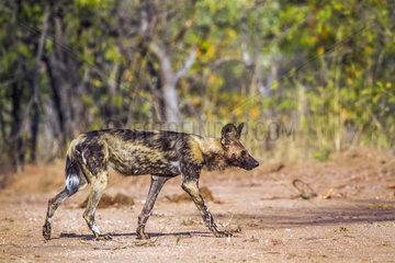 African Wild Dogs (Lycaon pictus) walking   Kruger National Park  South Africa