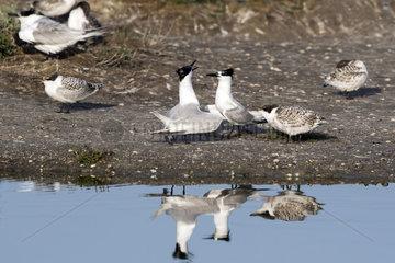 Sandwich tern (Sterna sandvicensis) Adult and chicks in spring  Sebastopol Polder  Noirmoutier island  Atlantic Coast  France