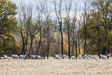 Common Cranes (Grus grus) in pasture  Lac du Der  France