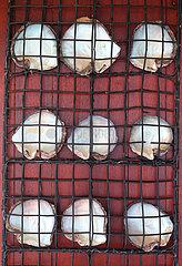 Polynesian oyster shells in a pearl net - Tuamotu