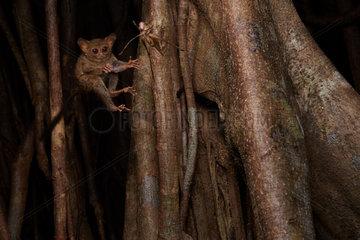 Spectral Tarsier (Tarsius tarsier ex Tarsius spectrum) capturing a grasshopper. Fig tree (Ficus) Tangkoko National Park  North Sulawesi  Indonesia