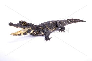 Dwarf crocodile (Osteolaemus tetraspis) on white background