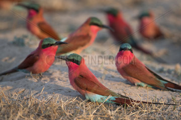 Carmine bee-eater (Merops nubicoides)  sitting on the ground  breeding colony at the Sambezi river  Namibia