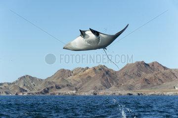 Smoothtail mobula leaping - Gulf of California