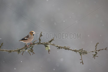 Hawfinch on a branch in winter - Vosges France