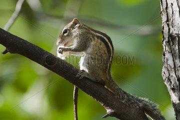 Indian palm squirrel eating on branch - Minneriya Sri Lanka