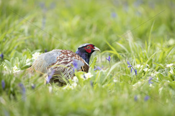 Pheasant (Phasianus colchicus) Pheasant looking for food amongst flowers  England  Spring