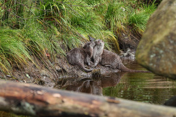 River otters (Lutra lutra) young playing on the waterfront  Bayerischer Wald  Bavaria  Germany