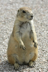 Black-tailed prairie dog (Cynomys ludovicianus) in Badland National Park  South Dakota  USA