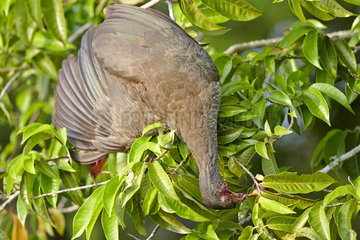 Chaco chachalaca eating berries - Brazil Pantanal