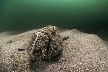 Fresh water mussels (Anodonta cygnea) in river Herault  France